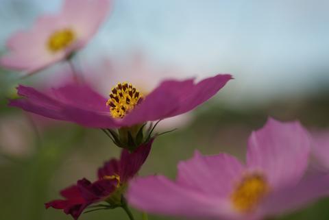 コスモスの花のアップ