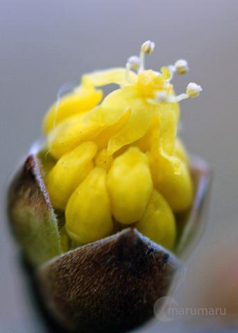 サンシュの花3