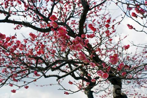 梅の木曇り空