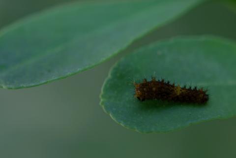 生まれたてのアゲハ幼虫