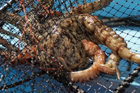 網にかかった蛸