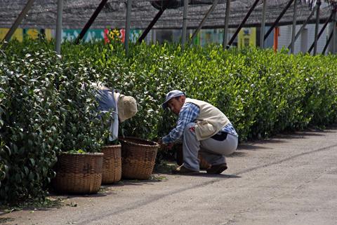 茶摘み1.png