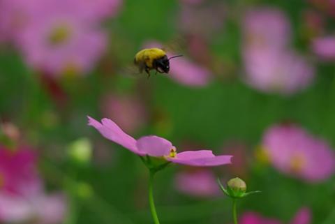 コスモス畑の蜂