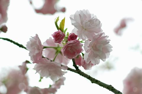 4月20日 八重桜アップ