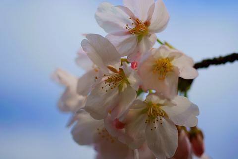 やわらかい桜色