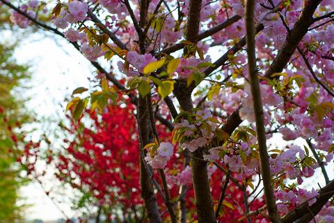 八重桜と花桃