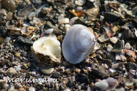 浜辺に打ち上げられた貝殻